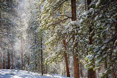 Fresh snow blankets a forest near Crested Butte, Colorado.