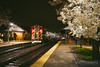 The Cherry Blossoms are in full bloom at the Lake Forest, Illinois Metra station.