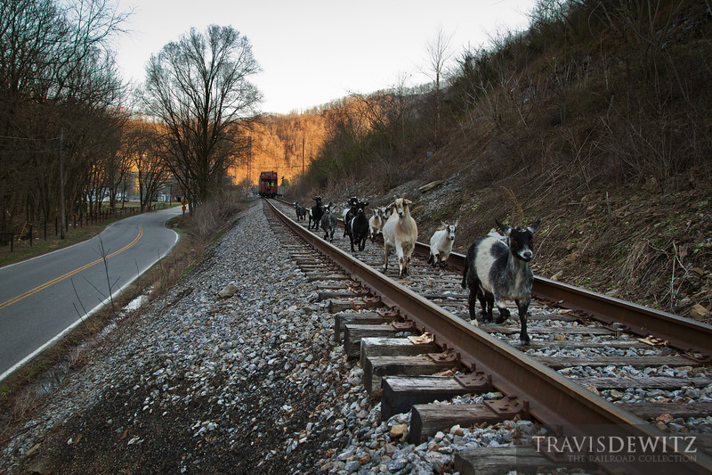 "A Norfolk Southern coal train backs up to the Lobata loadout with a NW caboose on the rear protecting the shove move. A bunch of goats run down the tracks from the train as they scurry back to the farm.  Travis Dewitz <a href=""http://www.therailroadcollection.com/latest-works/"" target=""_blank"">The Railroad Collection</a>"
