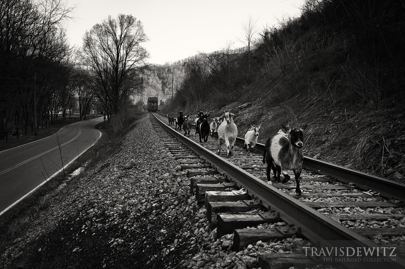 """A Norfolk Southern coal train backs up to the Lobata loadout with a NW caboose on the rear protecting the shove move. A bunch of goats run down the tracks from the train as they scurry back to the farm.  Travis Dewitz <a href=""""http://www.therailroadcollection.com/latest-works/"""" target=""""_blank"""">The Railroad Collection</a>"""