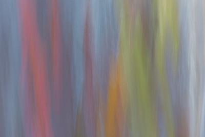 Rainbow Eucalyptus #13