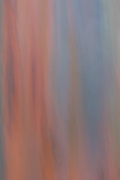 Rainbow Eucalyptus #11