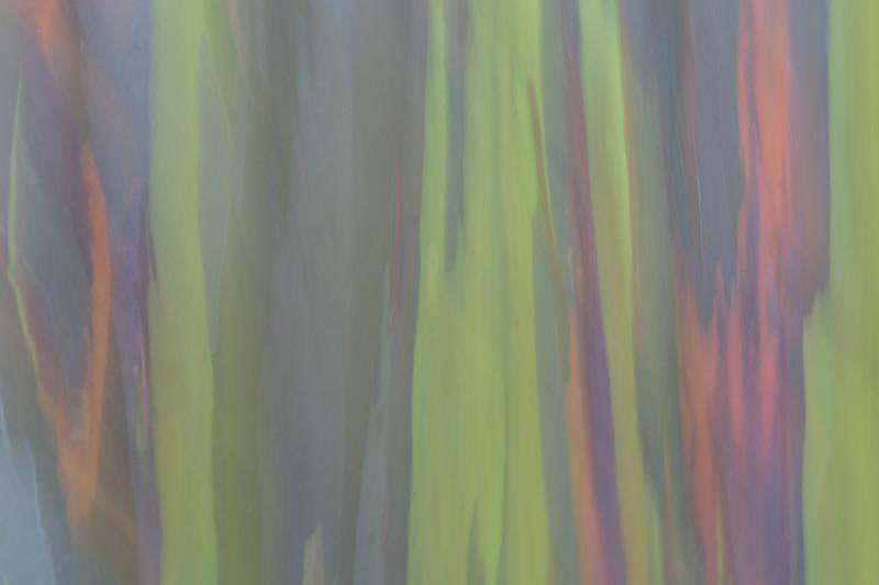 Rainbow Eucalyptus #9
