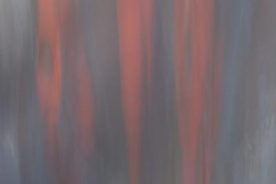 Rainbow Eucalyptus #2