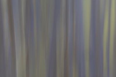 Rainbow Eucalyptus #12
