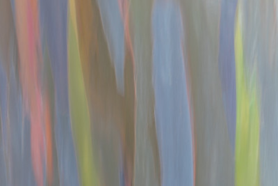 Rainbow Eucalyptus #8
