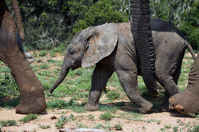 Young juvenile African Plains Elephant - walking with the herd.