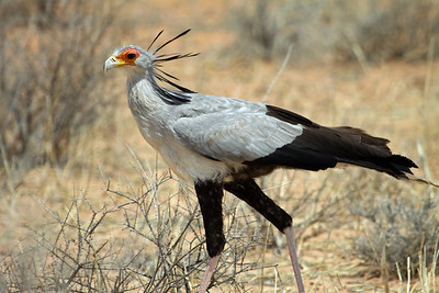 "Secretary Bird - is artistically included on South Africa's ""Coat of Arms"" - and is characterised in flight"