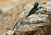 Southern Rock Agama (Agama atra) - a diurnal and oviparous lizard that grows to about 9 in. (25 cm) in length.   The males scales turn blue during breeding season - here during the very early springtime (late Sept), in the Cederberg (Ceder Mountains), Western Cape Province.