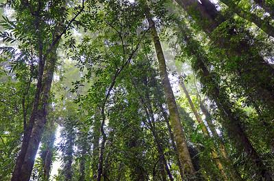 Misty Rainforest Canopy