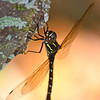 Rainforest Dragonfly
