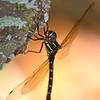 Rainforest Dragonfly