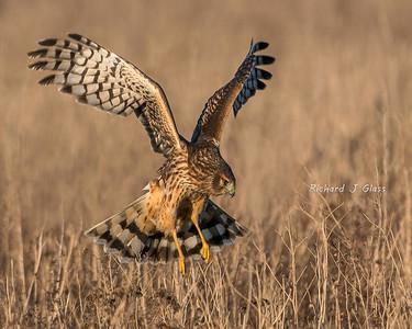 Harrier Hunting
