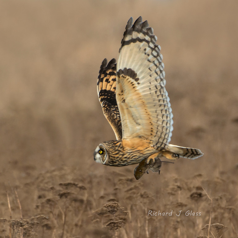 Shortear Owl