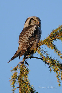 Northern Owlhawk