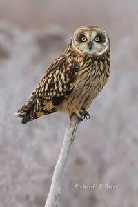 Shortear-owl
