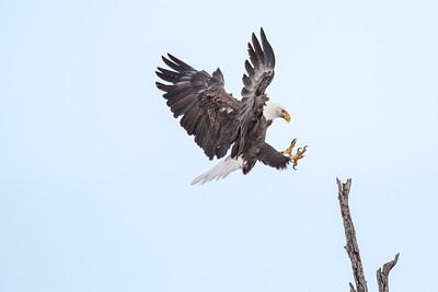 Bald Eagle Landing