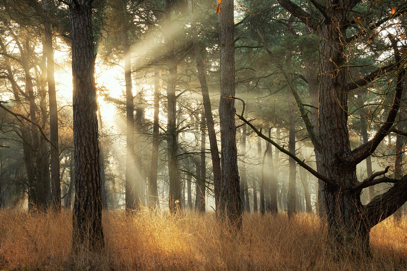 Light and pines