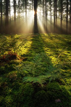 Ferns in the morning light