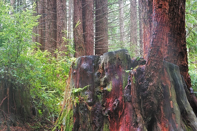 California Redwoods 01