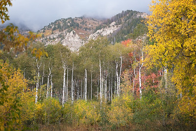 Cascade Aspen in the Fall