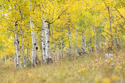 Autumn Aspen on the Nebo Loop 01