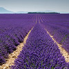 Lavender Field, Valensole