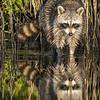 Raccoon Reflection