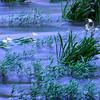 Twilight Cahaba Lilies