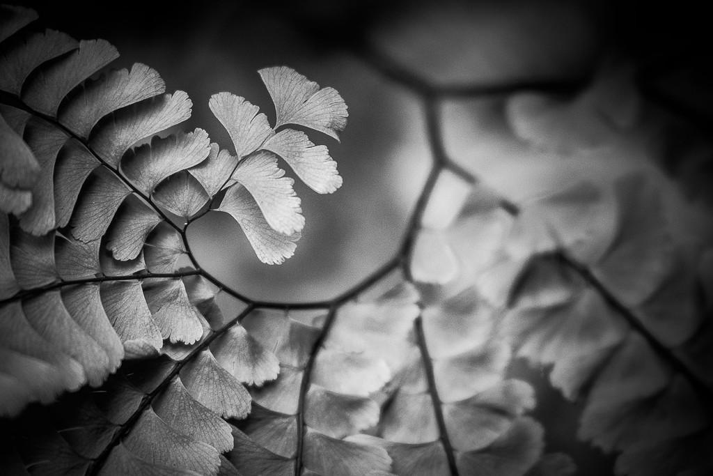 Fern Swirl
