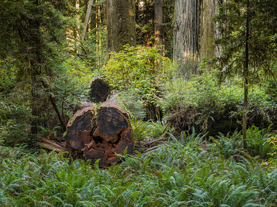 Redwood Forest Scene