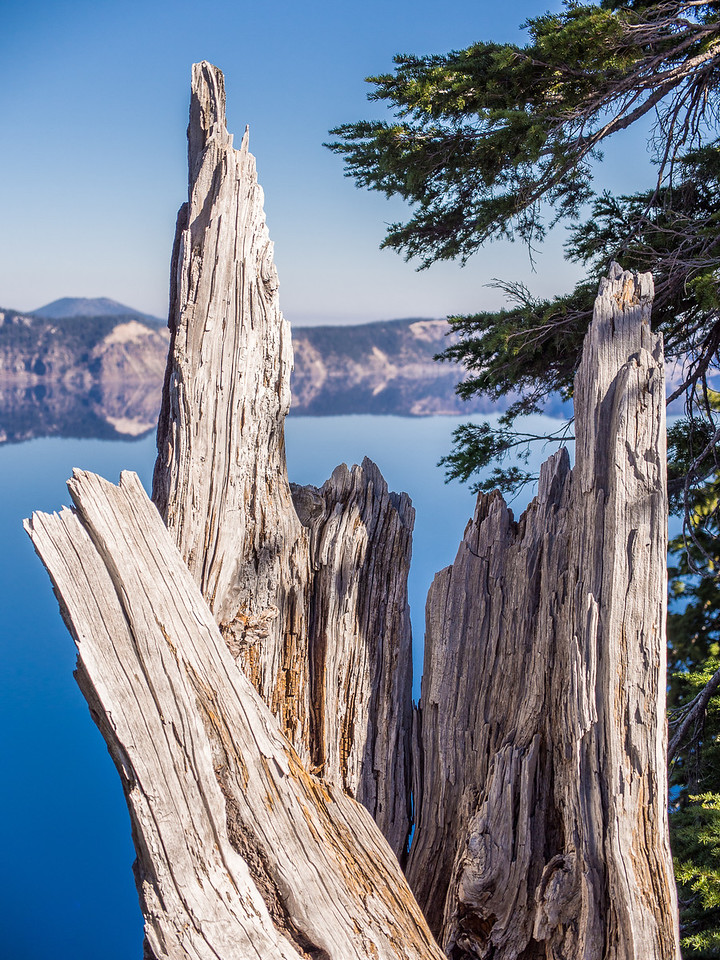 Dead Wood Detail From Crater Lake National Pasrk, Oregon