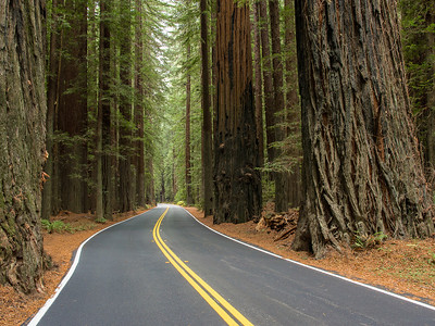 Road Through the Redwood forest in the Avenue of the Giants in Humboldt State Park