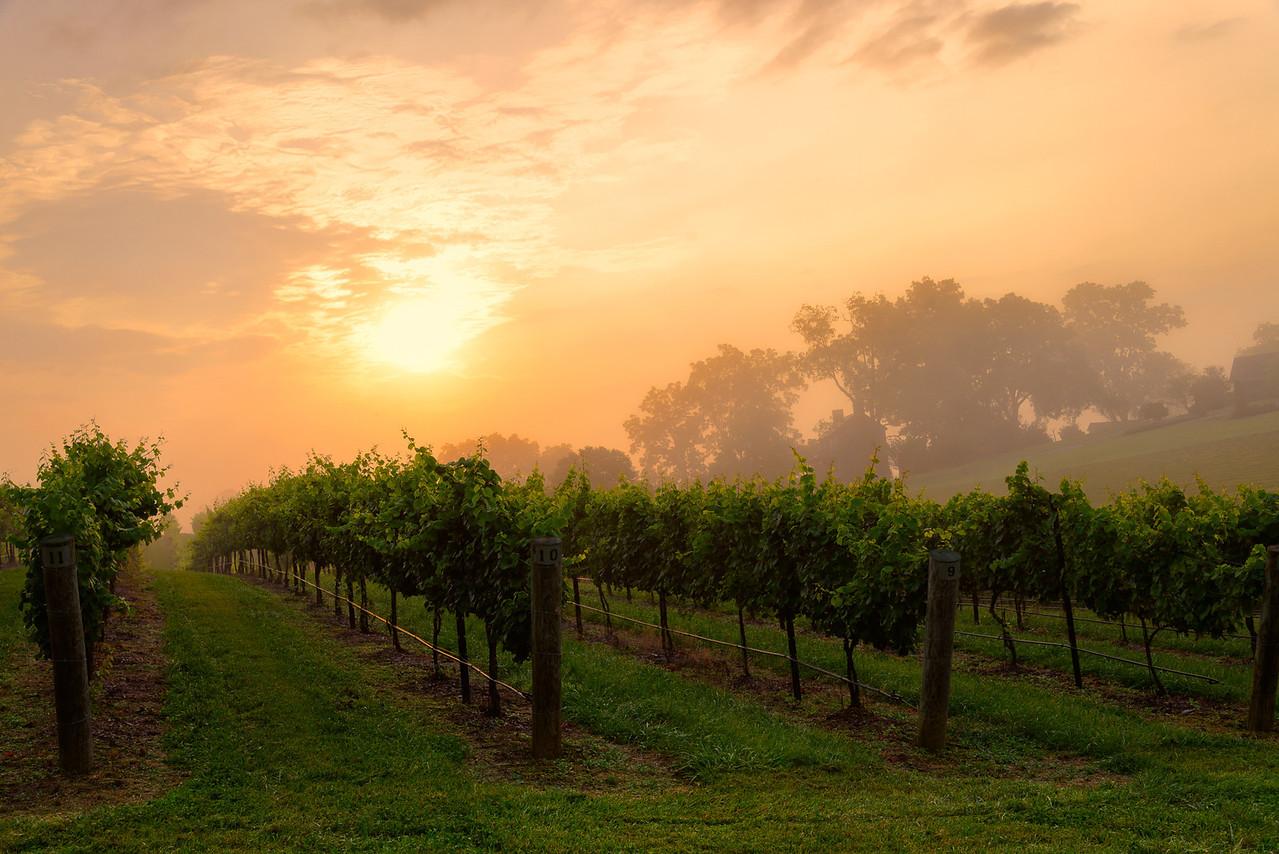 Foggy Morning over Vineyard