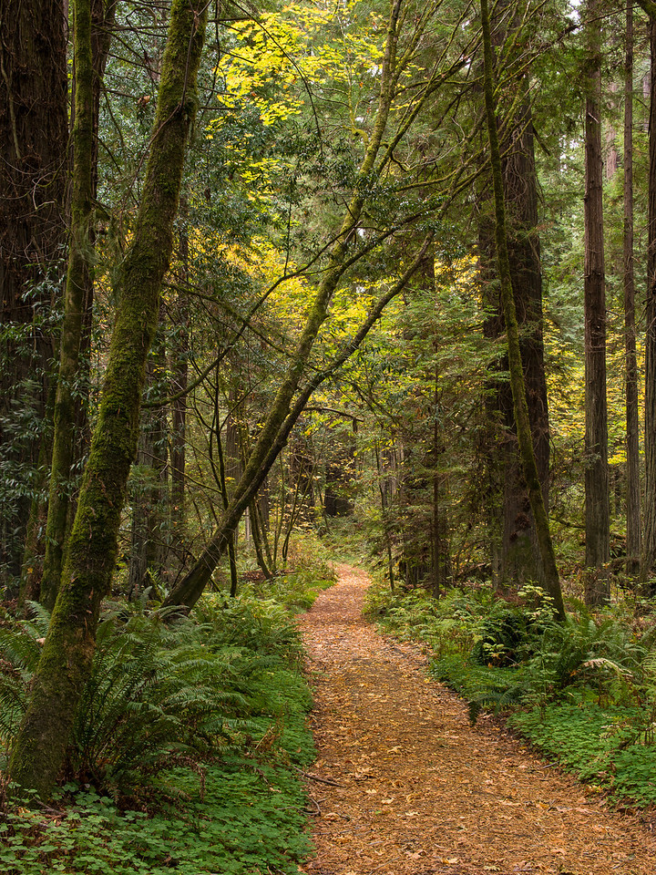 Path Through the Redwood forest in the Avenue of the Giants in Humboldt State Park