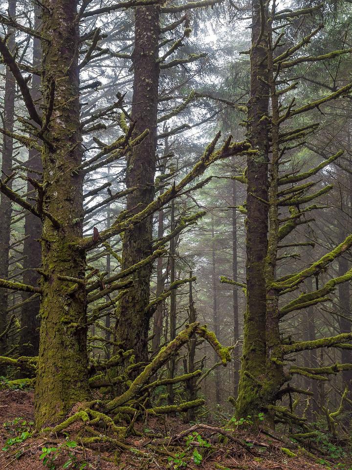 Unusual Pine Forets at Cape Sebastian, Oregon
