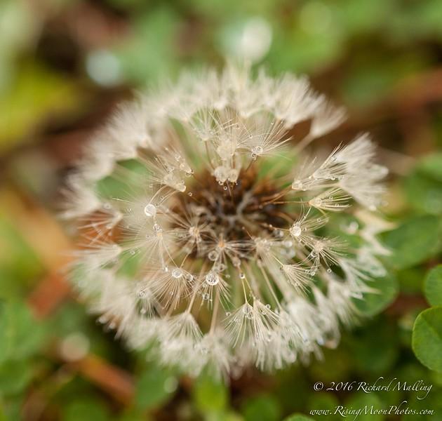 December Dandelion