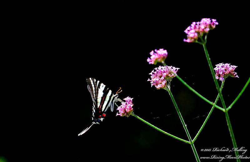 Butterfly_-2