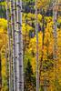 Aspen Forest 6836