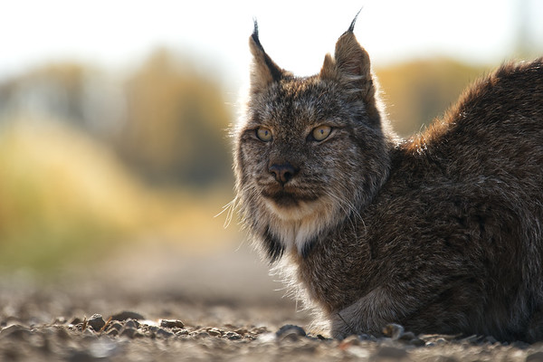 Lynx on the Road