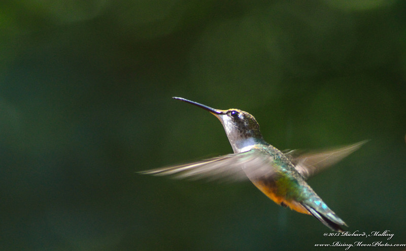 One Of Our 4 Hummingbirds_
