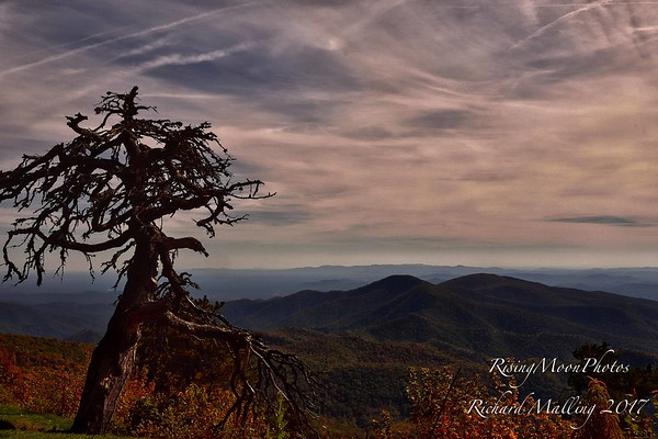Old Pine Blue Ridge 2017