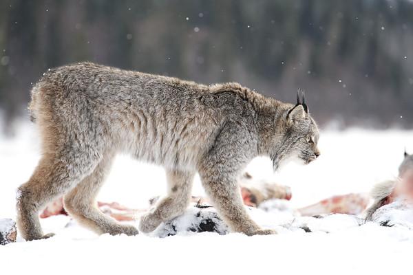 Lynx Feasting