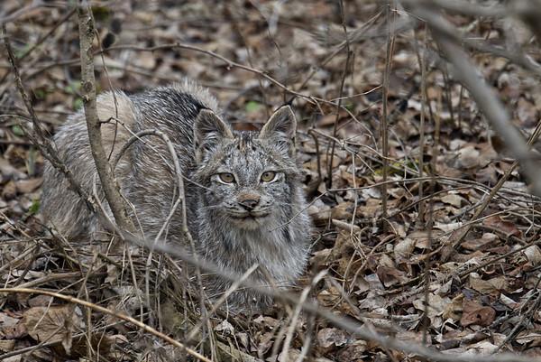 Lynx Yearling