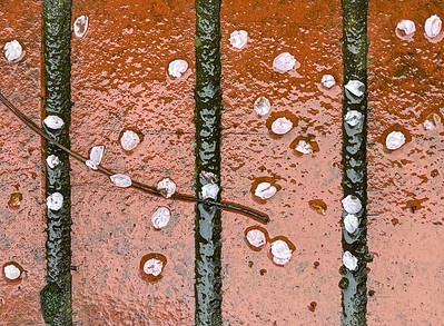 Blossoms on Rainy Bricks, Portland, 2021