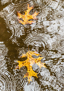 Oak Leaves in Rain Puddle, Portland, 2021