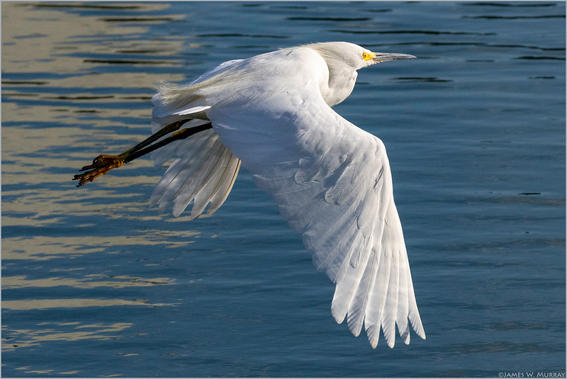 Snowy Egret, Late Afternoon, Edith Morley Park [7DII.2018.9015]