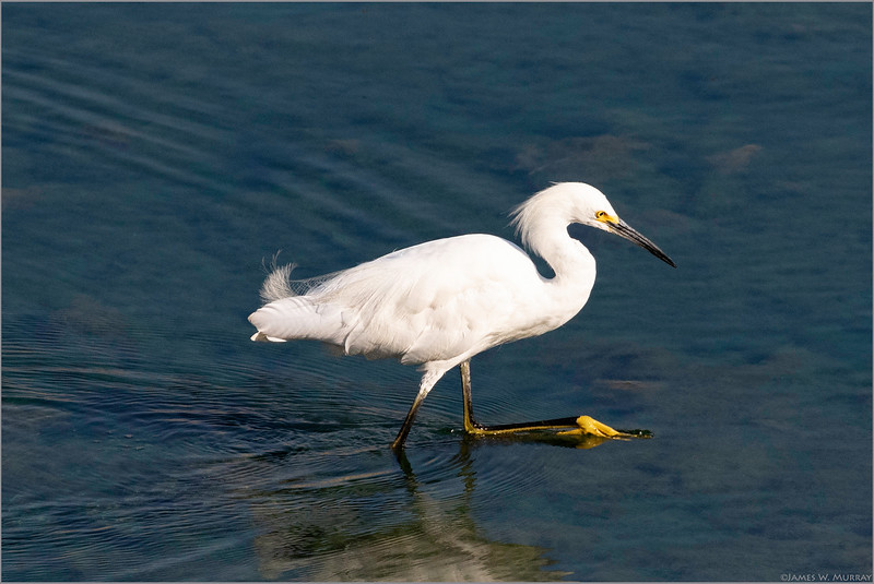 Snowy Egret On the March [7DII.2018.6877]