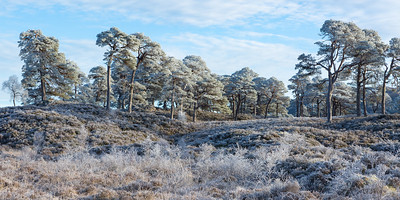 Scots Pines covered in frost, Glen Affric, Scotland