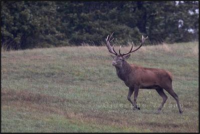 Red Deer (Cervus elaphus)  Appennino Tosco-Emiliano ( Italy )  Giuseppe Varano - Nature and Wildlife Images